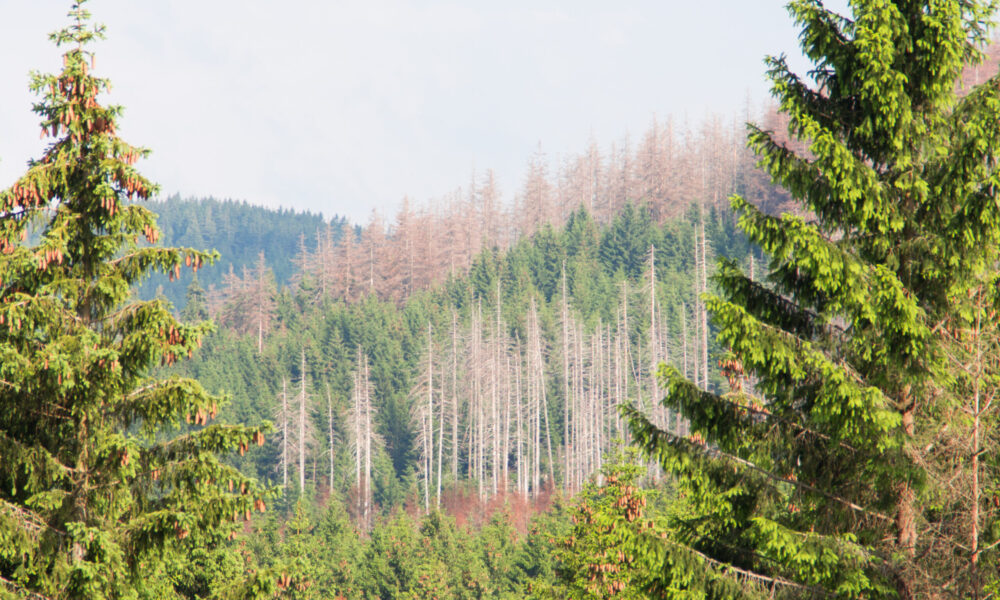 Begyndende skovdød i området nær Stempelsbuche. Kilde: Eget arkiv.