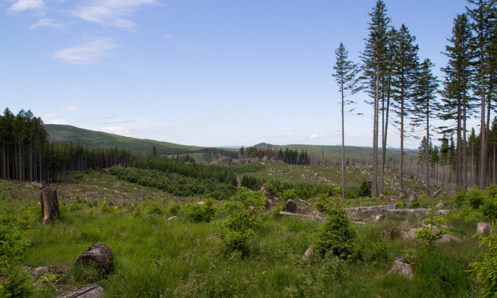 Ryddet område efter skovdød nær Molkenhausstern. Kilde: Eget arkiv.